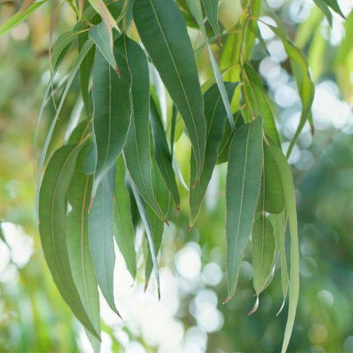 Tinh dầu Khuynh Diệp Nguyên Chất 100% | Eucalyptus Globulus Essential Oil Pure 100%